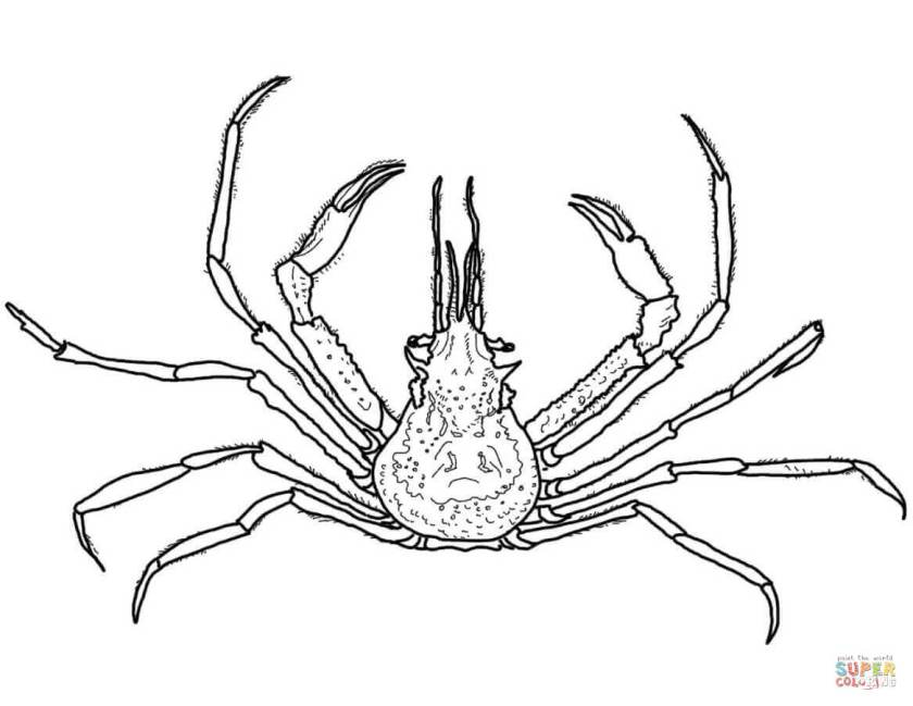 graceful decorator crab coloring page  free printable