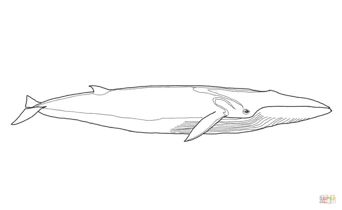 coloring page arctic hare coloring pages humpback whale coloring pages
