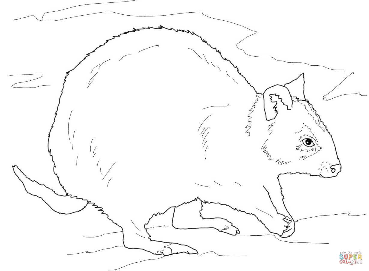 Rottnest Quokka Coloring Page