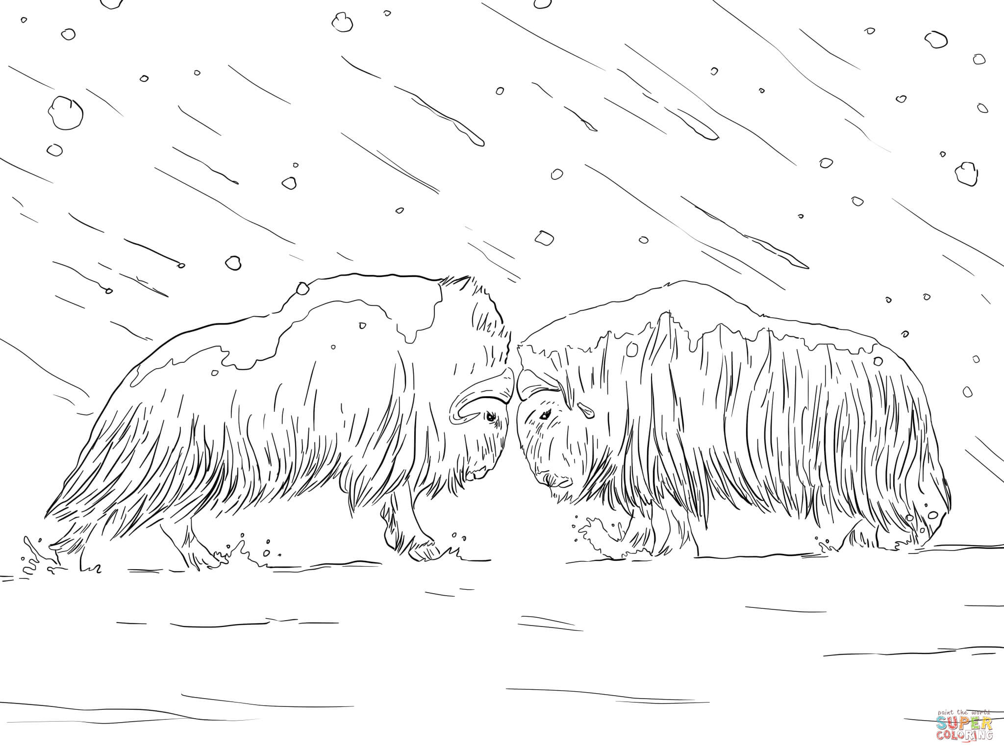 Musk Oxen Fighting Coloring Page