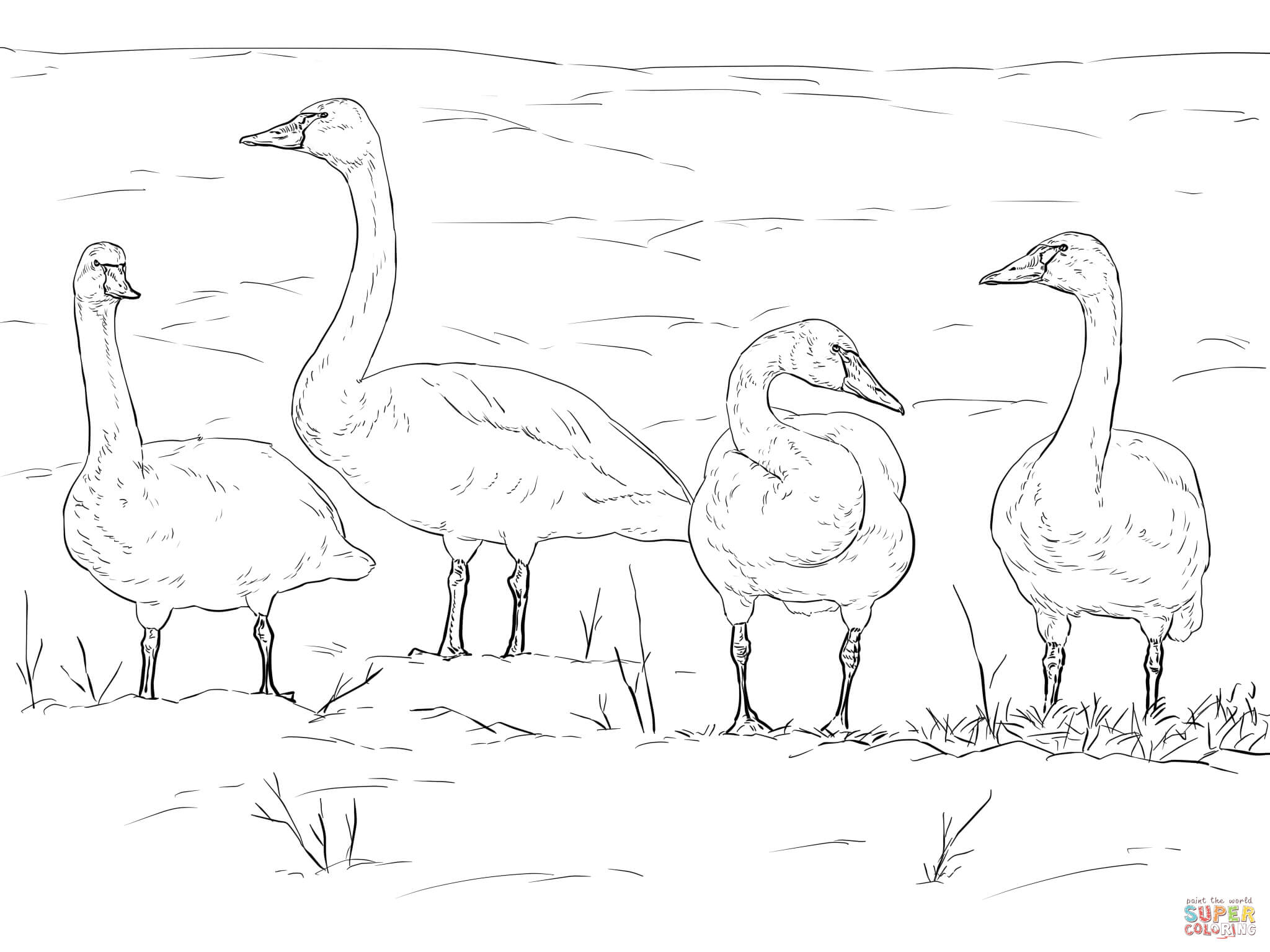 Tundra Swans Coloring Page