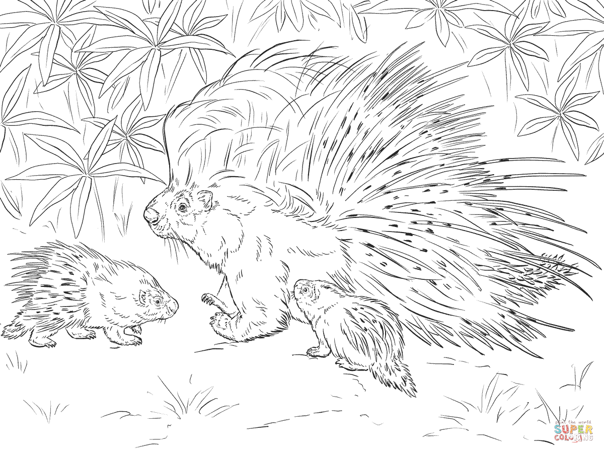 african crested porcupine coloring page free printable coloring