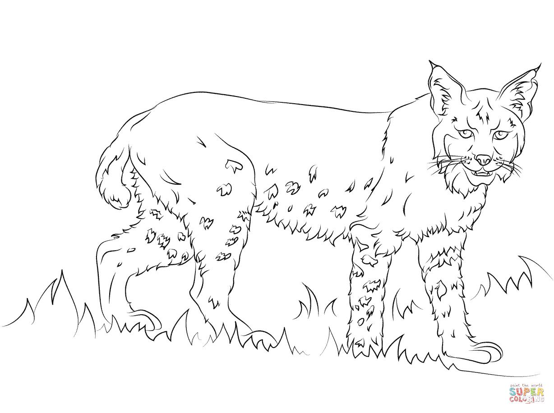 California Bobcat Coloring Page