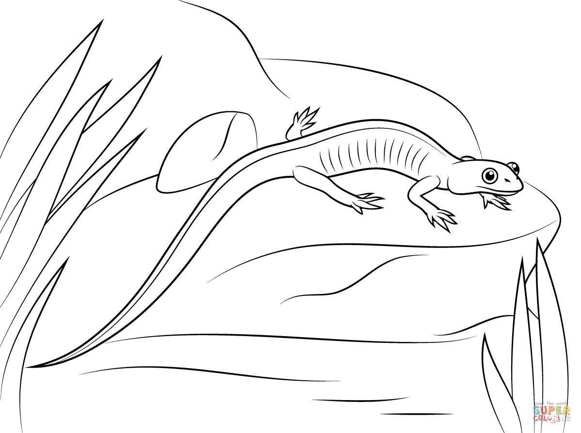 Ausmalbild Rotwangen Waldsalamander