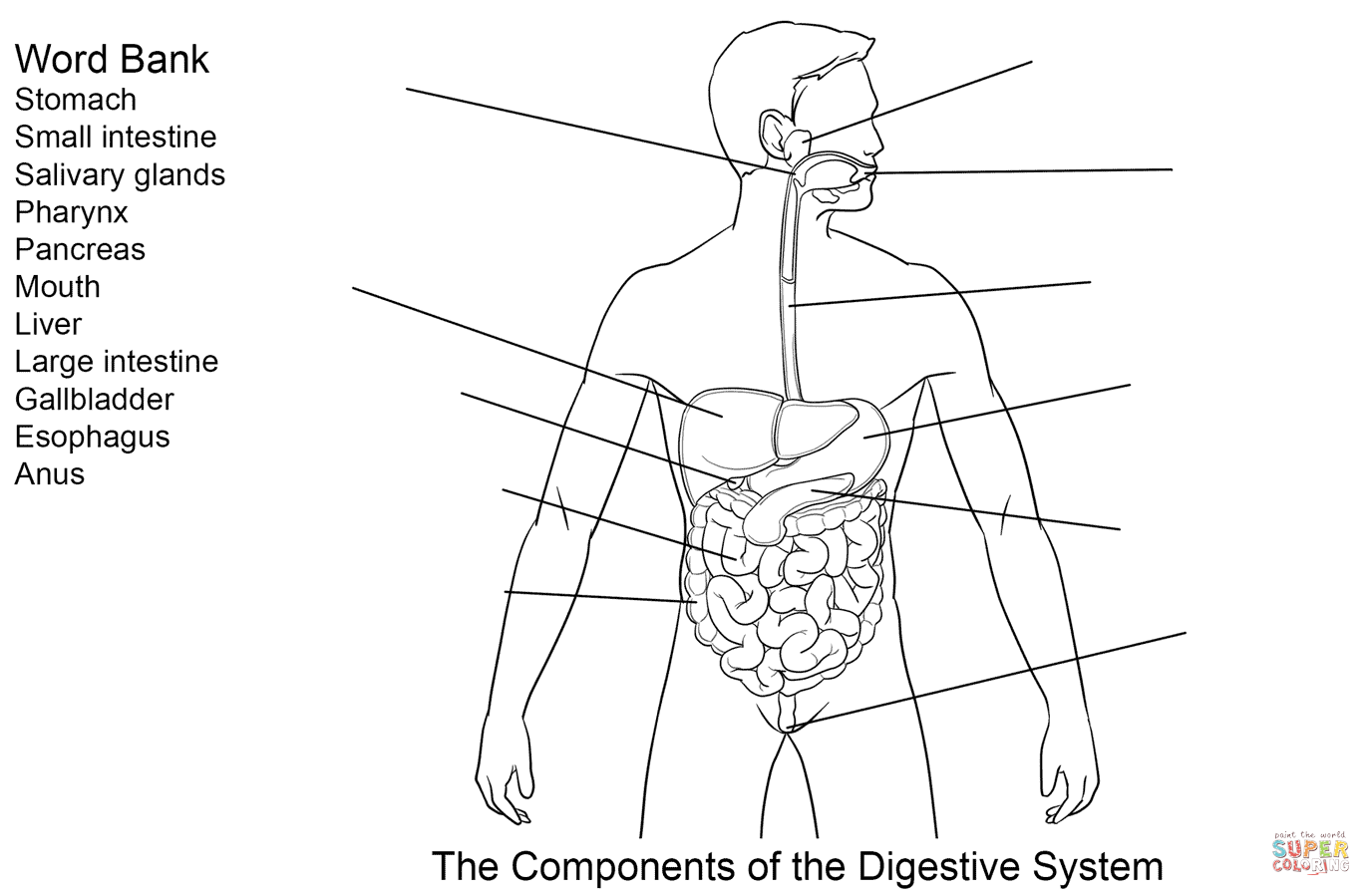 Components Of Digestive System Worksheet Coloring Page