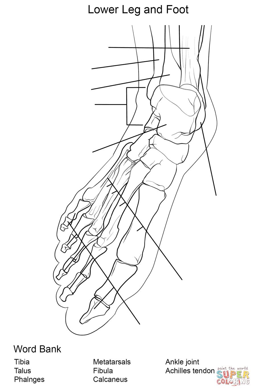 Foot Bones Anatomy Worksheet Coloring Page Free Printable
