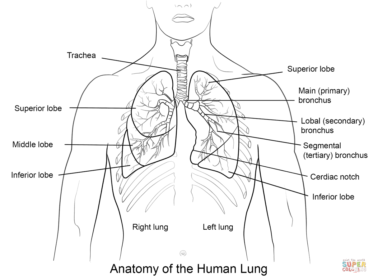 Human Lung Colouring Pages Sketch Coloring Page