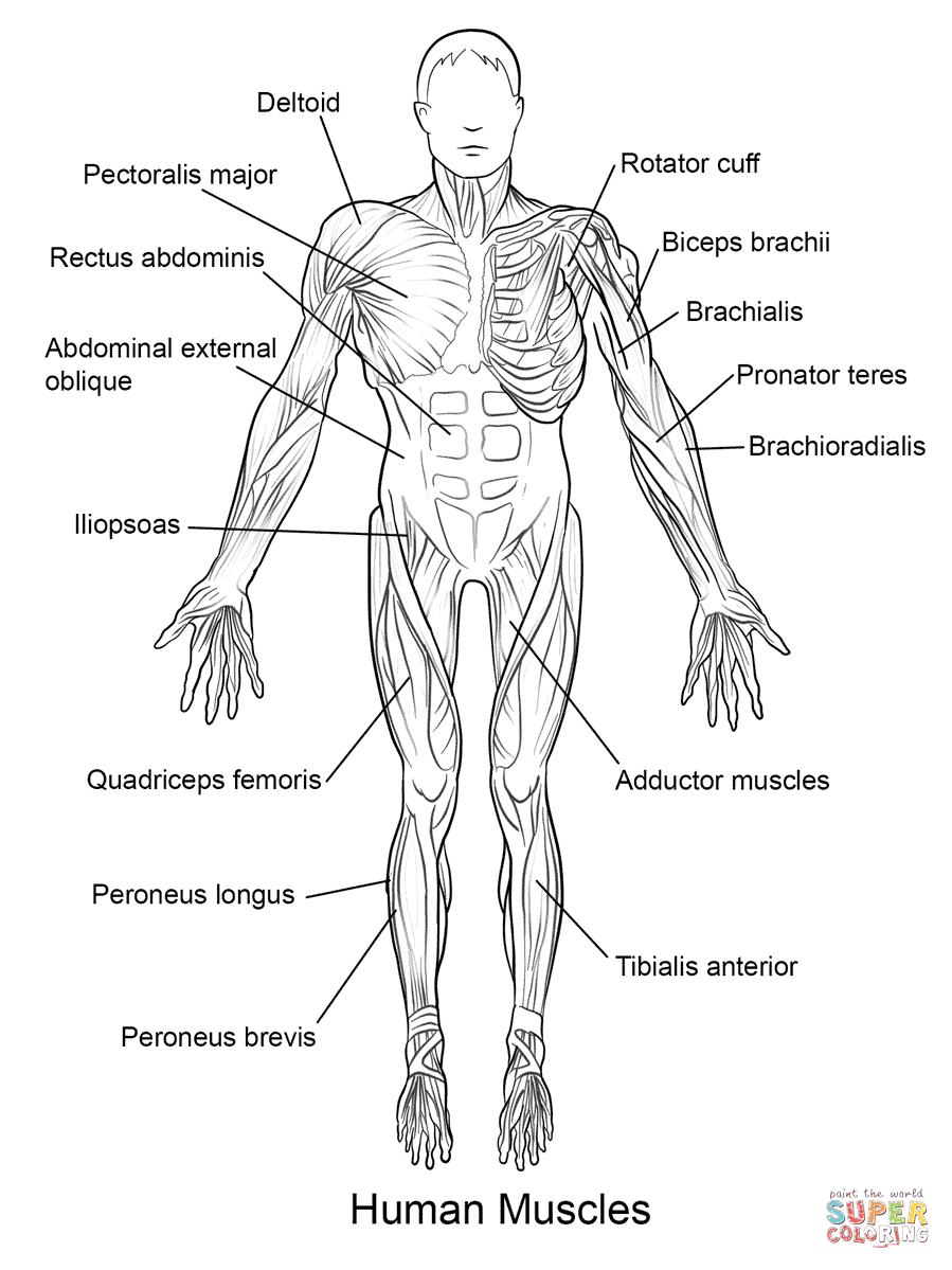 Human muscles front view coloring page free printable coloring pages rh supercoloring