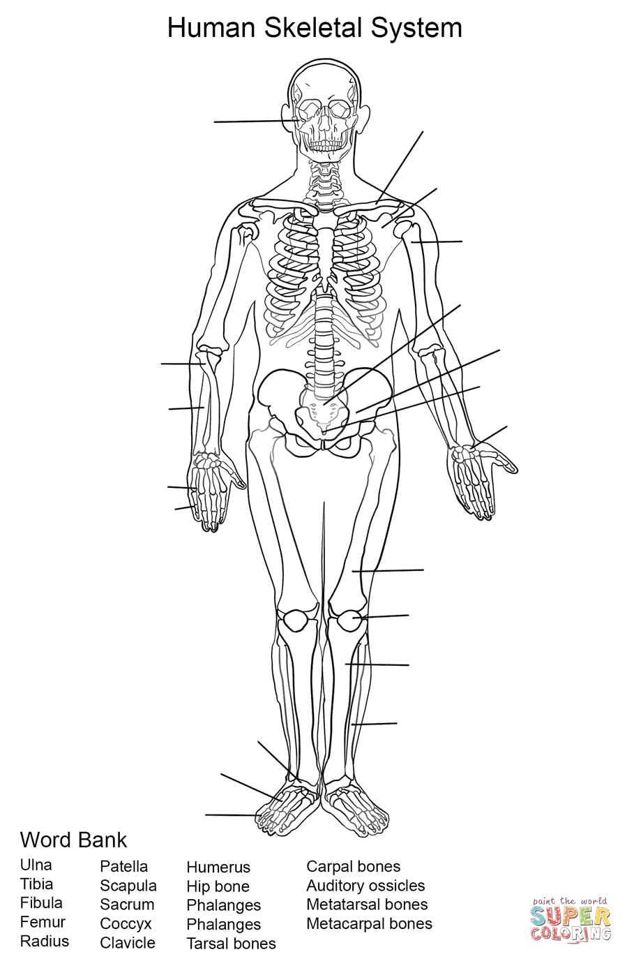 skeletal system worksheet coloring page free printable coloring
