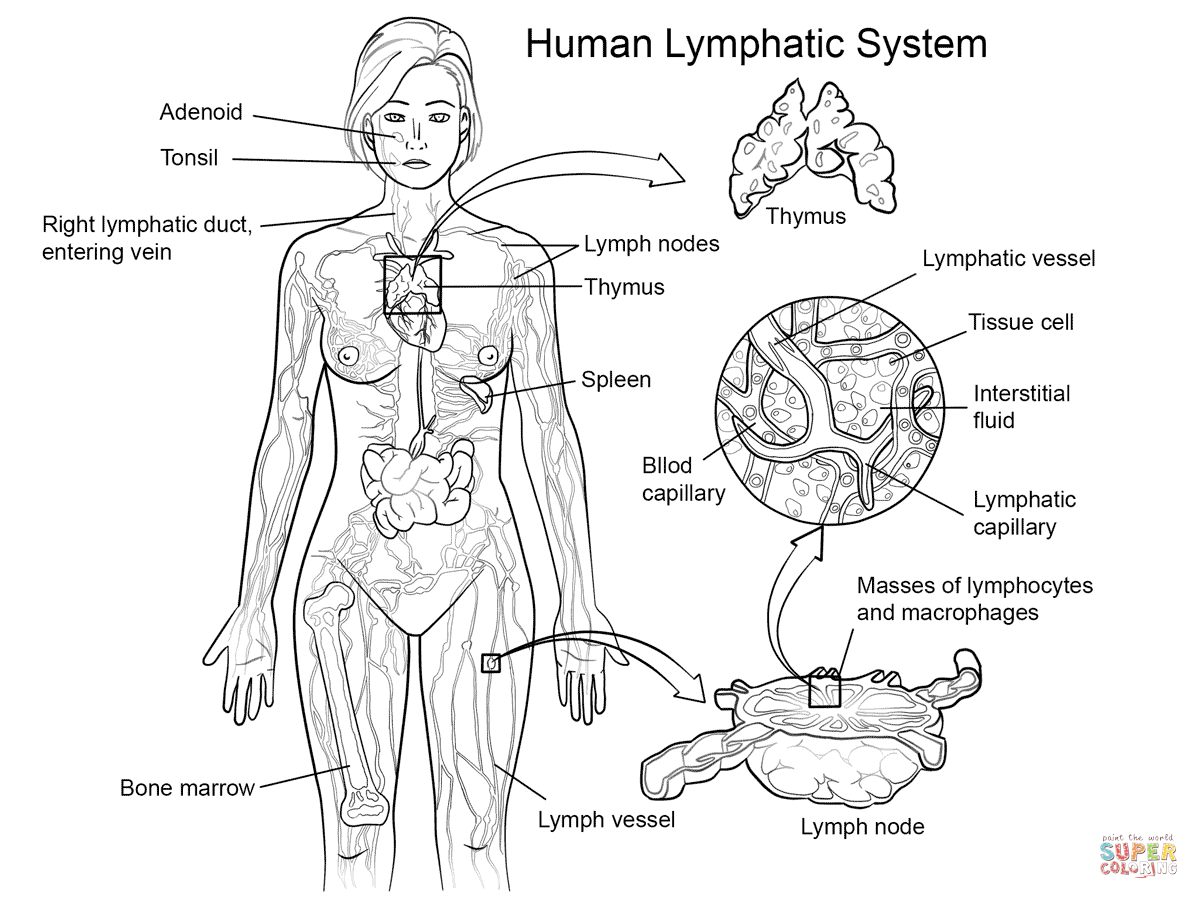 Lymphatic System Coloring Page