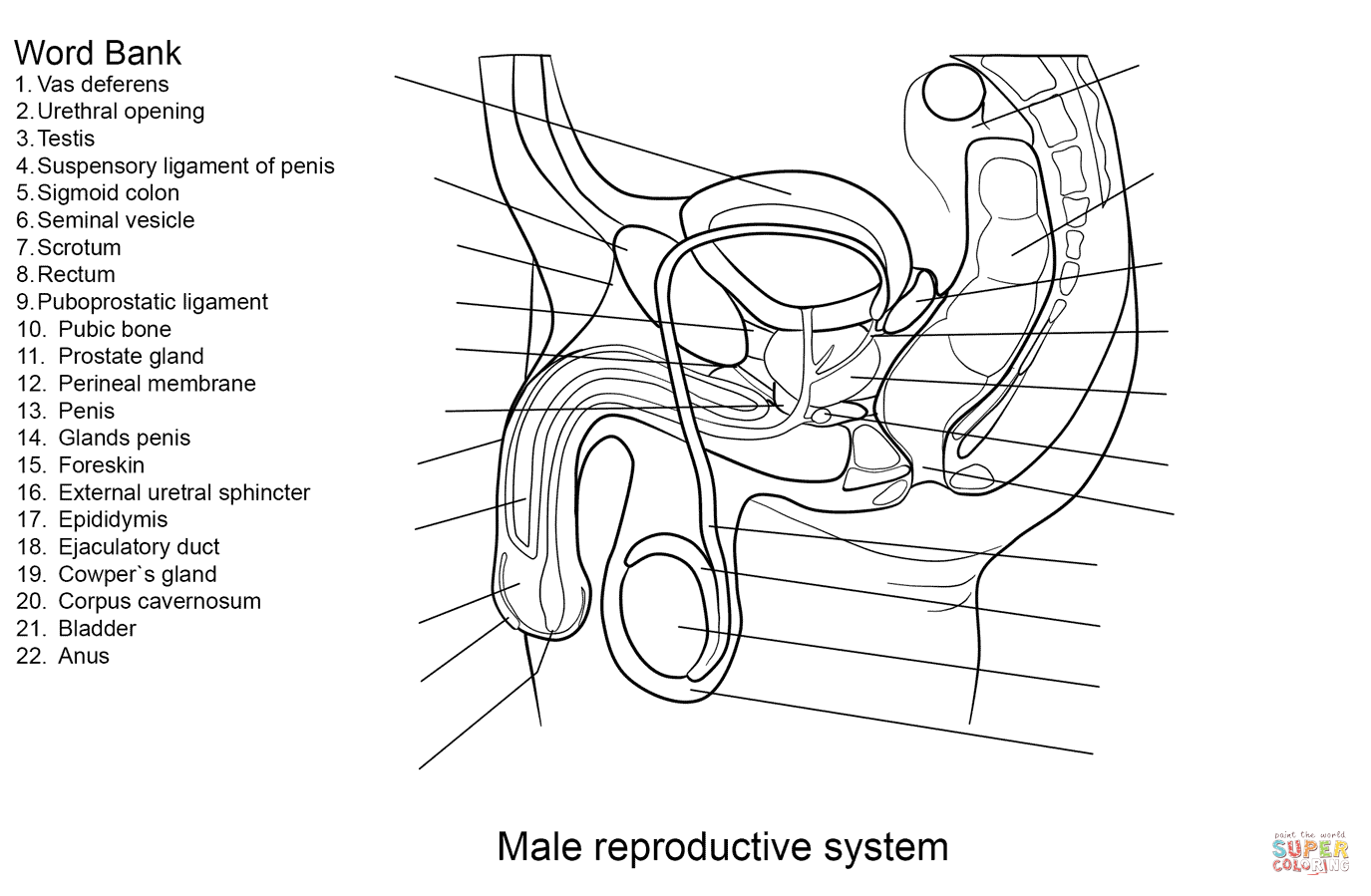 Male Reproductive System Worksheet Coloring Page