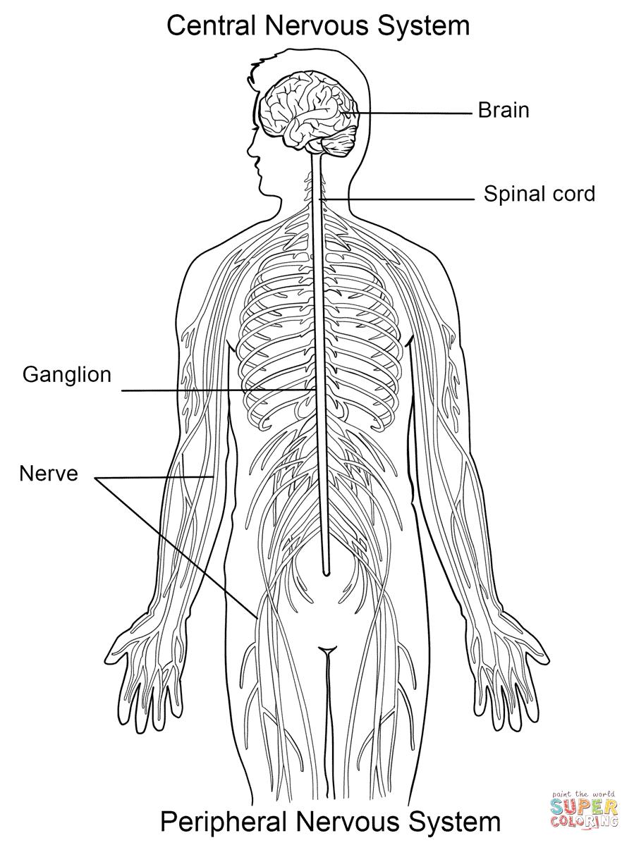 Aparato Circulatorio De Primaria Tercero