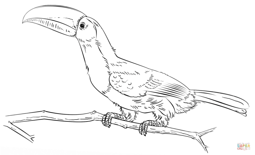 keel billed toucan on the branch coloring page  free