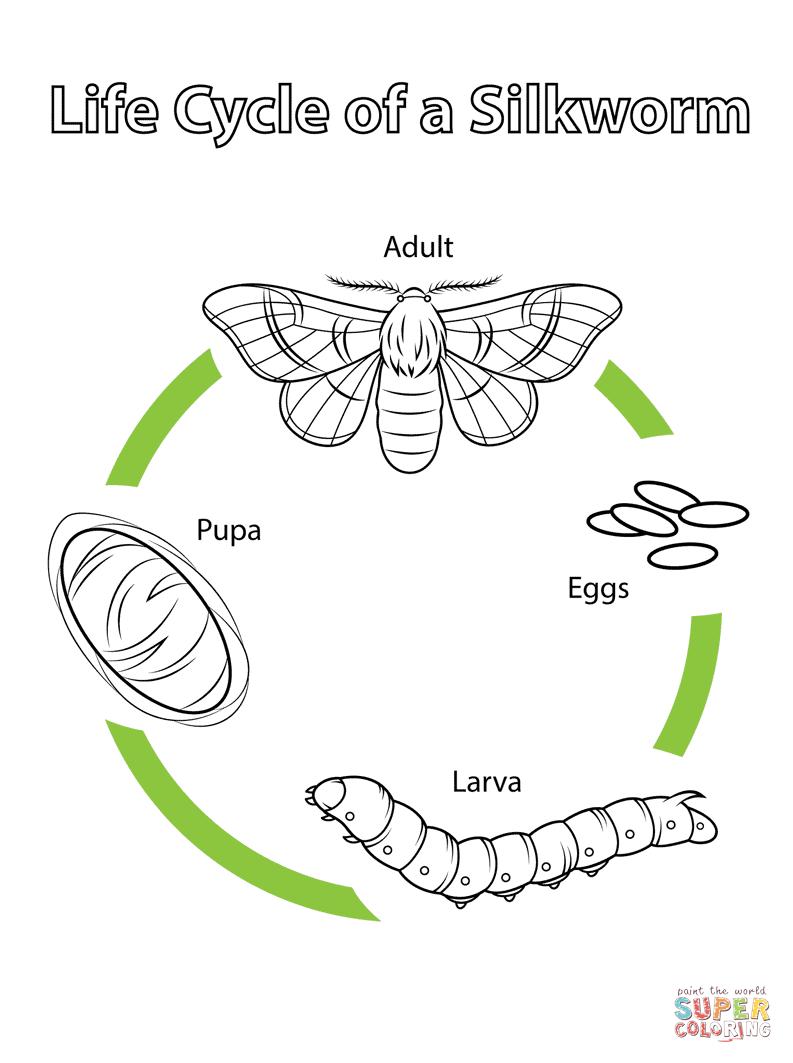 life cycle of a silkworm free printable