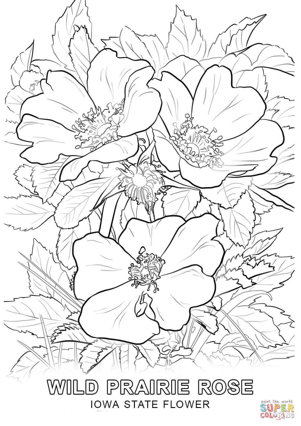 iowa state flower free printable pages