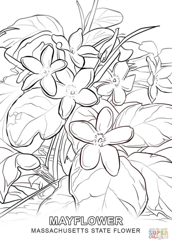 state flower coloring pages. Massachusetts State Flower Coloring Page Free Printable state flower coloring pages  for kids