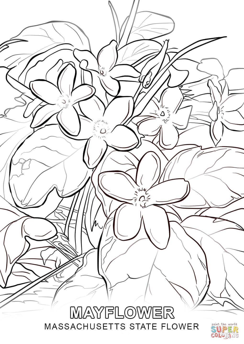 Massachusetts State Flower Coloring Page Free Printable
