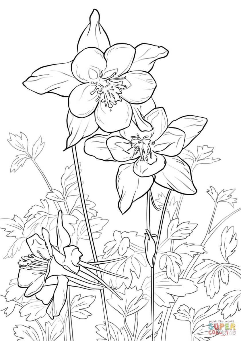 rocky mountain columbine coloring page  free printable