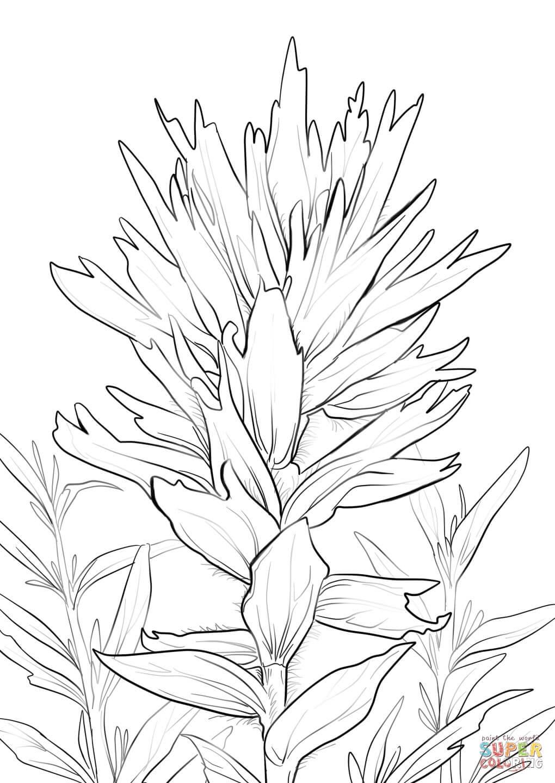 wyoming indian paintbrush coloring page free printable coloring