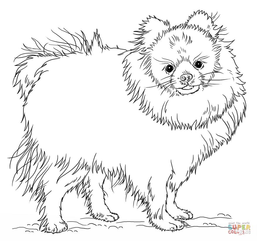 pomeranian dog and chihuahua coloring page free printable