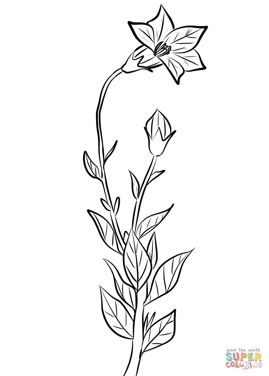 Balloon Flower Platycodon Grandiflorus Coloring Page