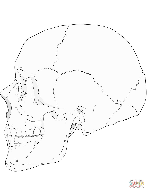 Dibujo De Craneo Humano Vista Lateral Para Colorear