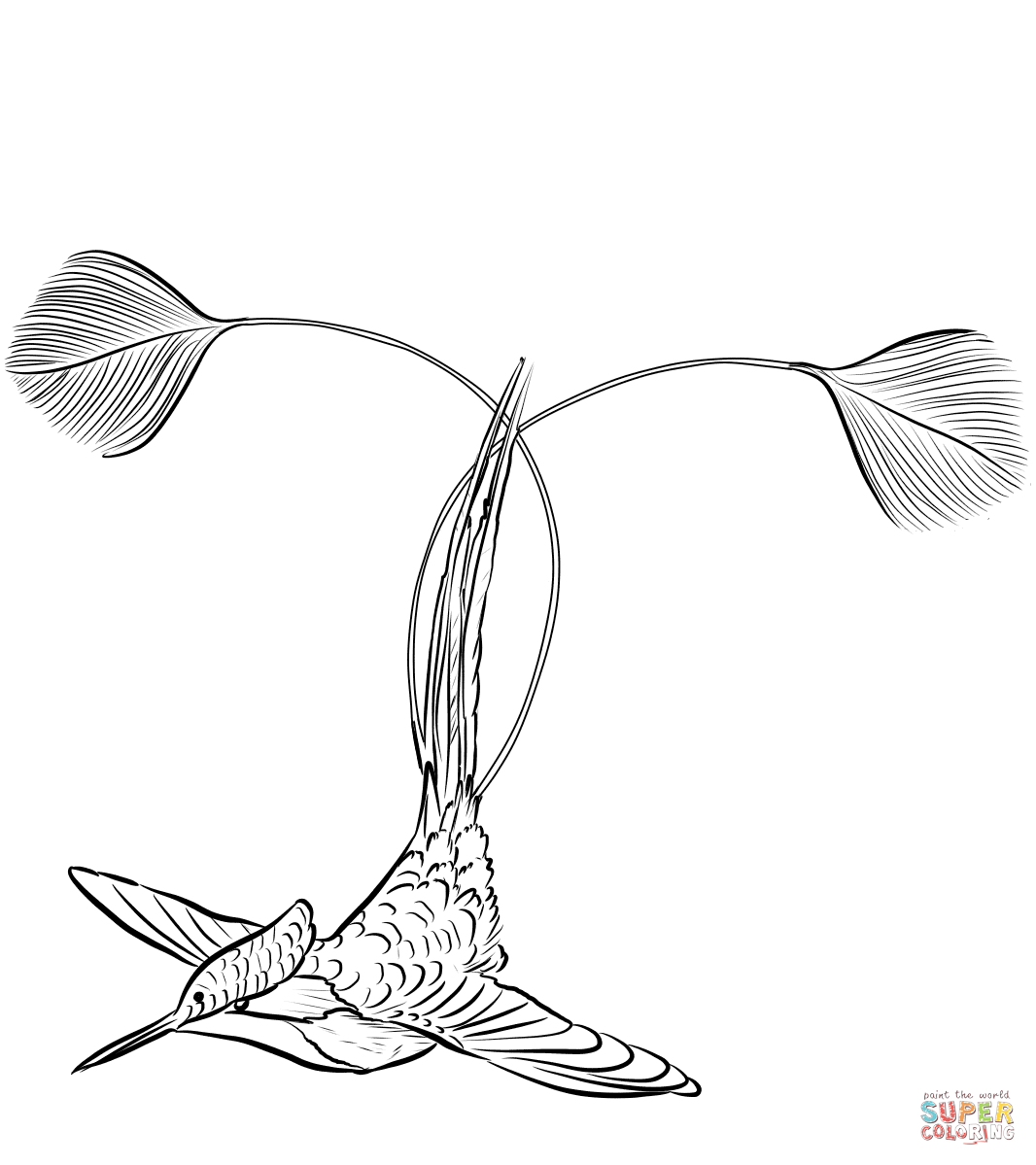 Marvellous Spatuletail Hummingbird Coloring Page