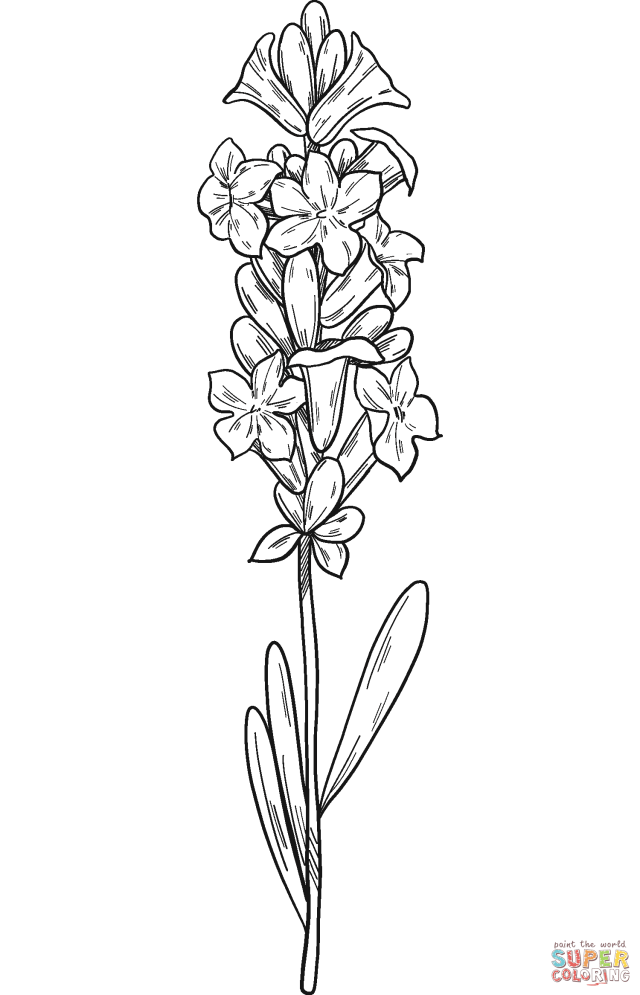 Lavender coloring page  Free Printable Coloring Pages