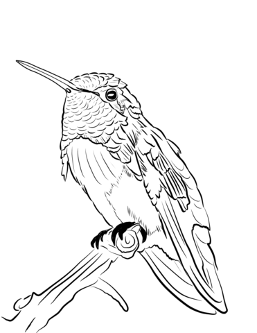 Costa S Hummingbird Coloring Page Free Printable Coloring Pages
