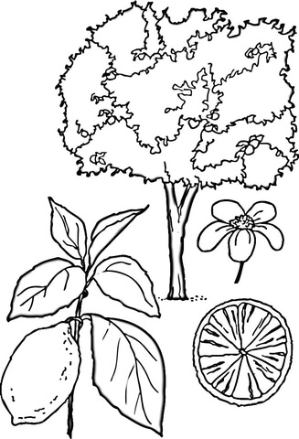 lemons tree coloring page free printable coloring pages