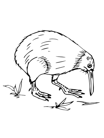 New Zealand Kiwi Coloring Page Free Printable Coloring Pages