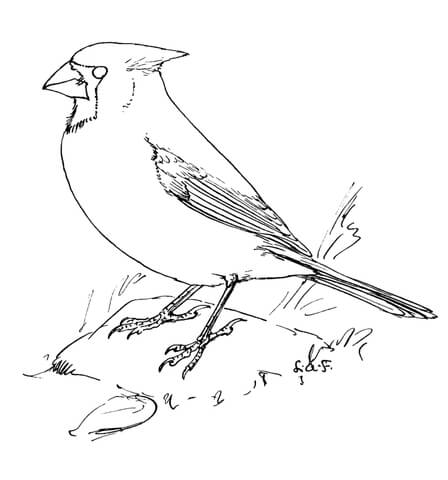click to see printable version of northern cardinal coloring page