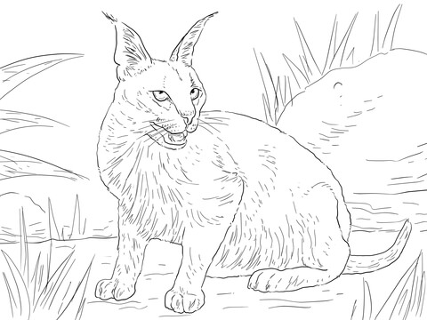 caracal desert wild cat coloring page free printable coloring pages