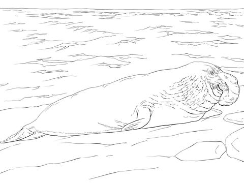 Coloriage Elphant De Mer Sur La Plage Coloriages