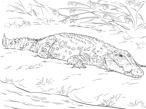 realistic australian saltwater crocodile coloring page free