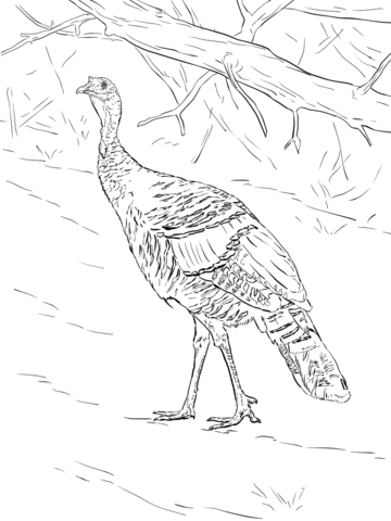 Wild Turkey Walks In The Forest Coloring Page Free