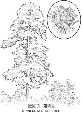 minnesota state tree coloring page free printable coloring pages