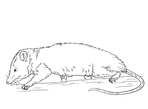 Click To See Printable Version Of Virginia Opossum Coloring Page