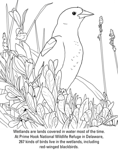 Red Winged Blackbird Coloring Page Free Printable