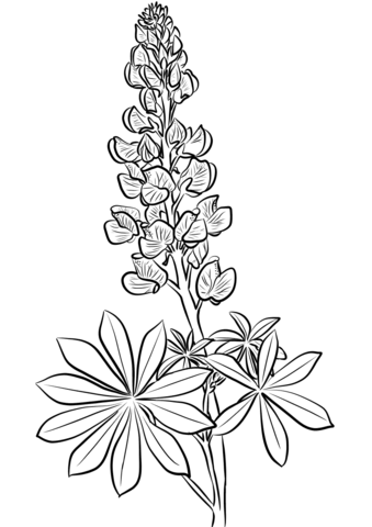 Lupine Coloring Page Free Printable Coloring Pages