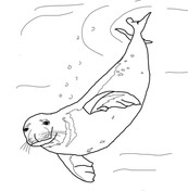 seals coloring pages free coloring pages