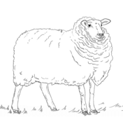 domestic sheep coloring pages free coloring pages
