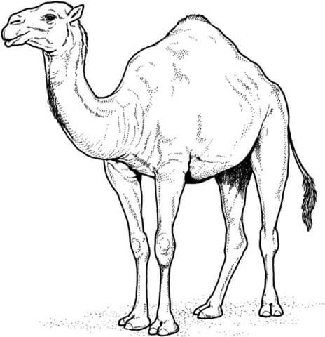head drawing arabian