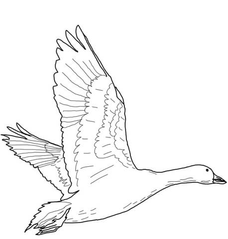 flying snow goose coloring page