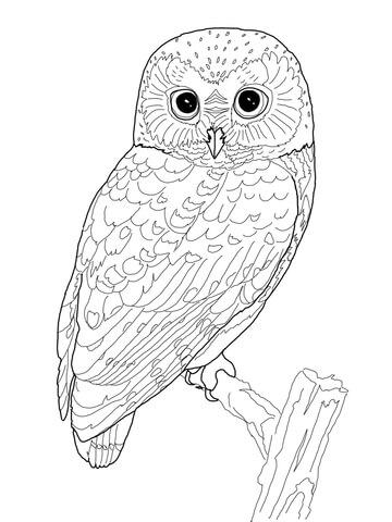 Northern Saw Whet Owl Coloring Page