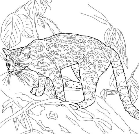 Margay Coloring Page Free Printable Coloring Pages