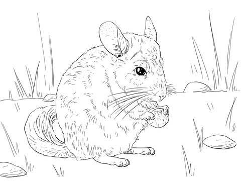 Long Tailed Chinchilla Coloring Page