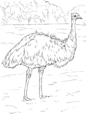 Realistic Emu Coloring Page Free Printable Coloring Pages