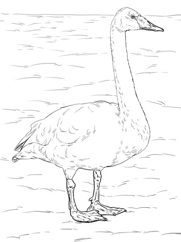 whooper swan coloring page supercoloring com