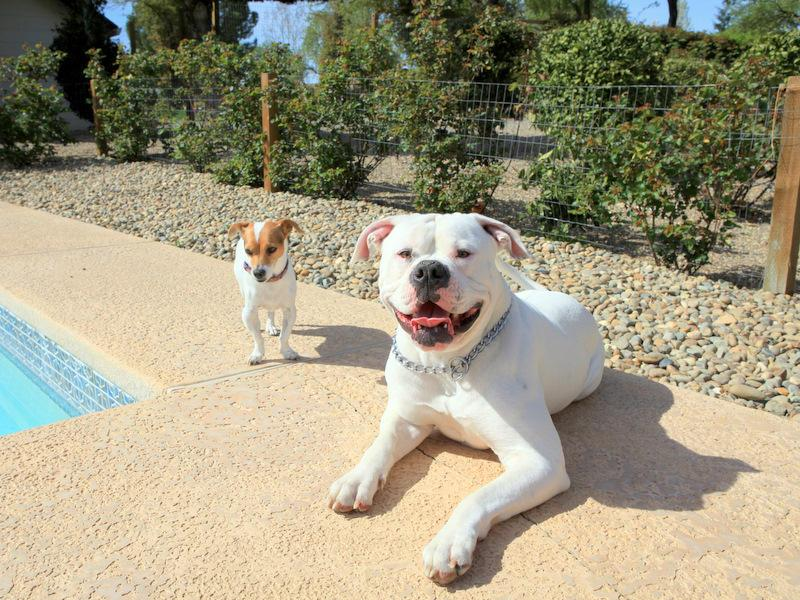 Jack Russell and ameican Bulldog by pool-image.